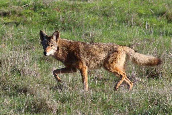 A file photo of a coyote. The group behind Idaho's controversial coyote- and wolf-shooting derby in 2013 is seeking to expand the event for this winter.