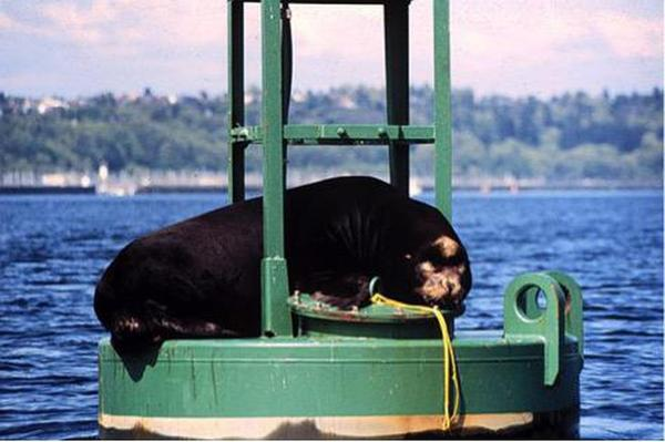 "<p>Herschel"" on navigation buoy in Shilshole Bay circa 1984.</p>"