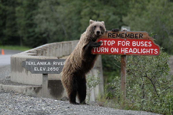 Drive safe! A grizzly bear holds onto a sign in Alaska.