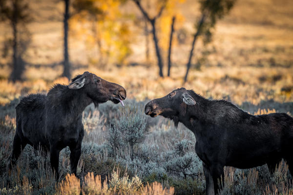 So there! A moose sticks its tongue out at another in Wyoming.