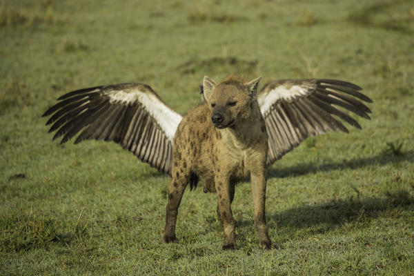 Prepare for takeoff! A hyena appears to sprout wings in Kenya.