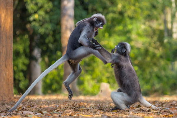This is Sparta: Two dusky leaf monkeys fight in Kaeng Krachan, Thailand.