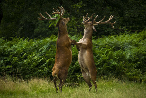 The Dance of The Deer: A pair of deer fight in Richmond Park, United Kingdom.