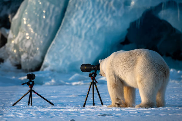 A wildlife photograBear framing the perfect shot: A polar bear looks through a camera lens in Svalbard, Norway.