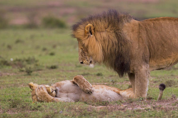 Got a headache? A female lion covers her face while a male lion looks toward her in Kenya.