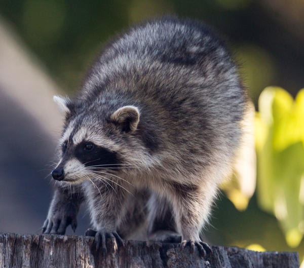 A raccoon sitting on the stump of a tree in the Beaches in Toronto. <em>The Toronto Star</em>'s Amy Dempsey thinks there's a particularly smart one in her neighborhood.