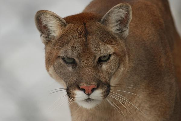 ODFW has expanded the statewide cougar hunting quota by nearly 25% for 2015.