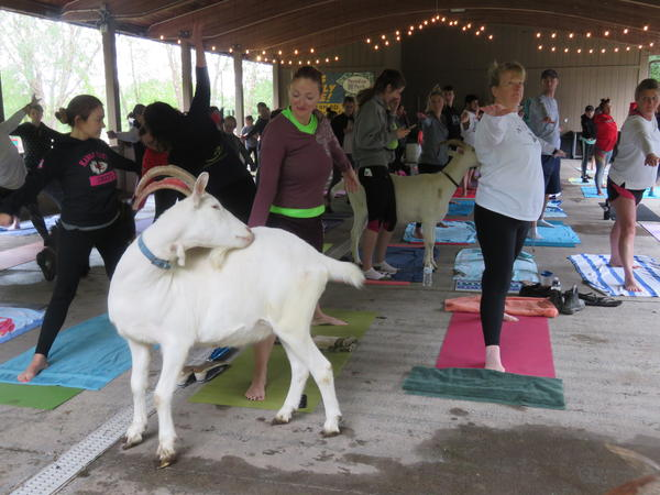 A goat yoga session at Paradise Park in Lee's Summit, Missouri.