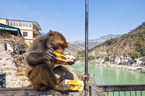 The fix was in for this rhesus macaque drinking juice on the Ganges River in Rishikesh, Uttarakhand, India. No gambling was required to get the reward.