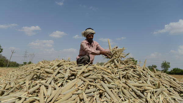 A farmer in India piles millet in a field. Grains such as millet and sorghum pack a powerful nutritional punch, but they are overlooked for calorie-laden commodity crops such as wheat or maize.