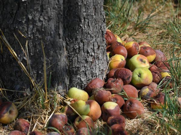 Thanks to ethylene, one bad apple spoils the lot.