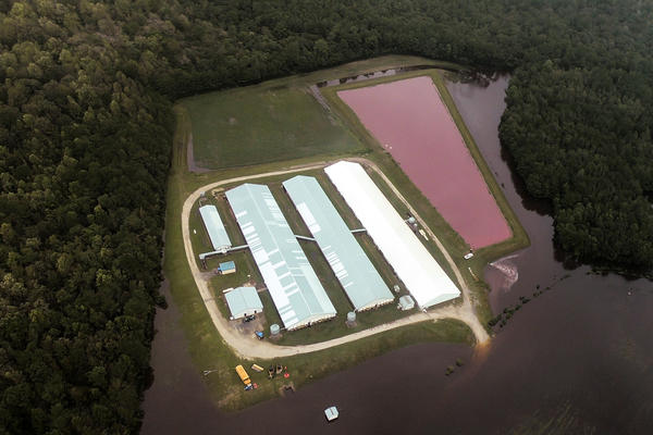 Pink ponds, like the one seen here, are common on hog farms throughout North Carolina. The ponds, called hog lagoons, collect the animals' feces and are used for waste management.