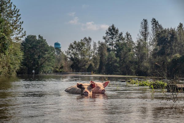 Pigs that survived the hurricane and escaped their farm swim through flood waters in Chinquapin, Duplin County, N.C.