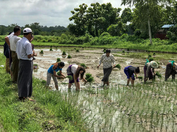 Members of the SunRice team help farmers in Myanmar transplant rice saplings into a paddy field.