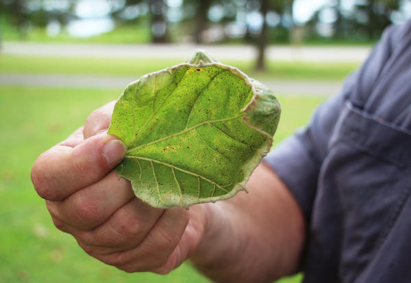 The edges of this sycamore leaf are turned upward into a cuplike shape, the typical sign of exposure to dicamba.