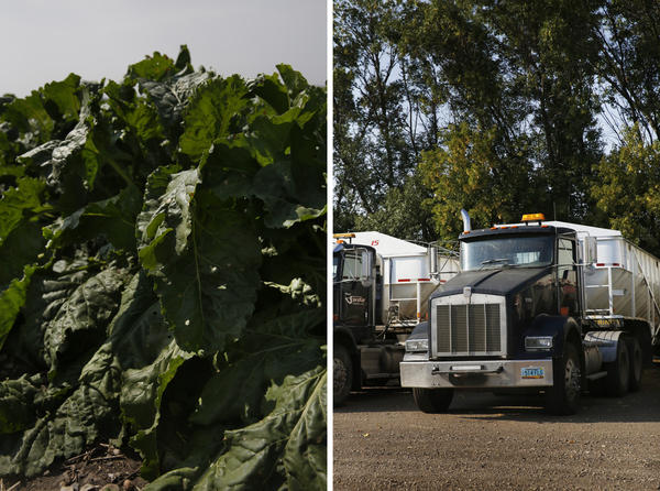 Left: Sugar beets. Right: Farm trucks outside Minto.