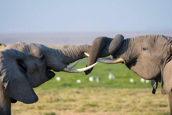 African elephants play-fighting in Amboseli National Park in Kenya.