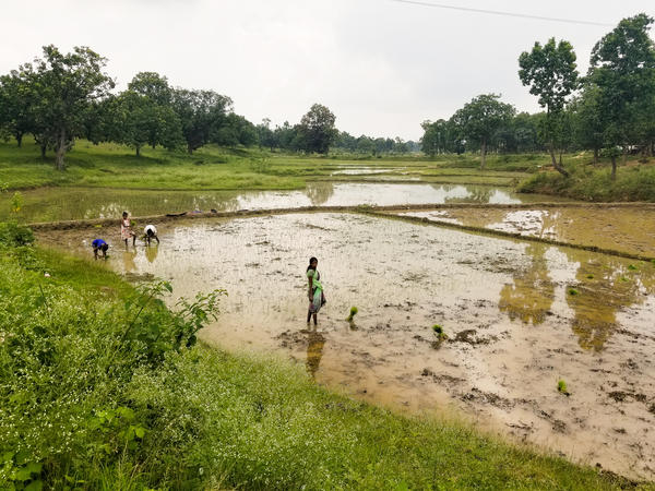 Women harvest rice in rural Jharkhand, one of India's poorest states, where at least a dozen people have died from starvation amid glitches in welfare distribution.