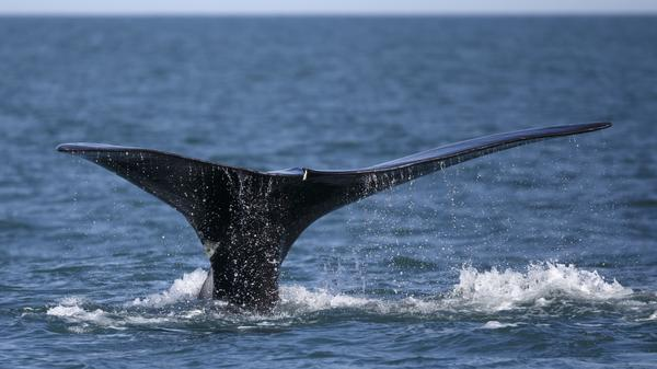 A North Atlantic right whale feeds on the surface of Cape Cod bay off the coast of Plymouth, Mass. North Atlantic right whales are facing the threat of extinction within a generation, and the movement to preserve them is trying to come up with new solutions.