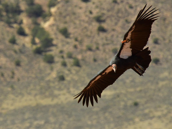 The Peregrine Fund recently released four California condors over high cliffs in Northern Arizona. In 1982, there were only 22 of these giant birds left in the wild.