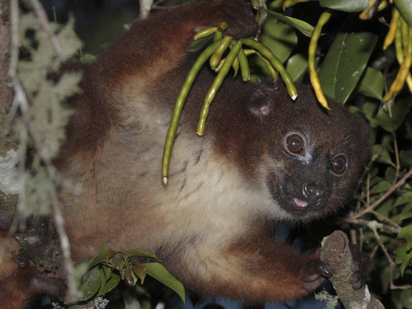 A red-bellied lemur feeds at dusk in Ranomafana park. Researchers found that the more a fruit is known to change scent when ripe, the more the lemurs appeared to be smelling it.