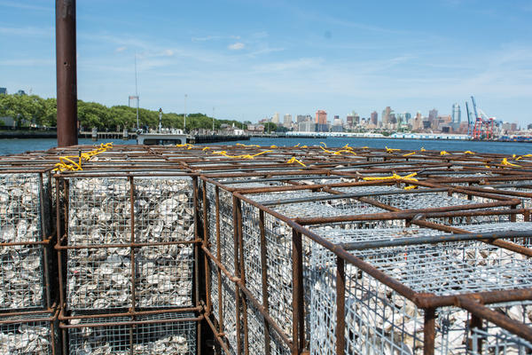 The shells are trucked over to Brooklyn's Greenpoint neighborhood and once a month are brought en masse to Governors Island in the heart of the New York Harbor. Billion Oyster Project has collected more than 1 million pounds of oyster shells so far.