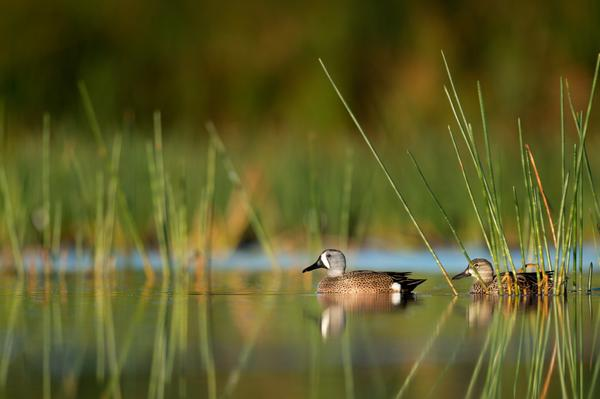 stock photo of ducks
