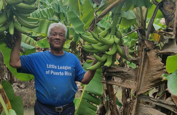 """Luis Pinto lost about $300,000 worth of plantain trees, livestock, roads and fences on his farm near Yabucoa, Puerto Rico. """"When I saw the desctruction, I just cried. But I said, 'The show must go on,'"""" he says."""