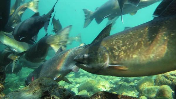 <p>In one of the most surprising relationships, salmon and other fish also benefit from regular fire on the land.</p>