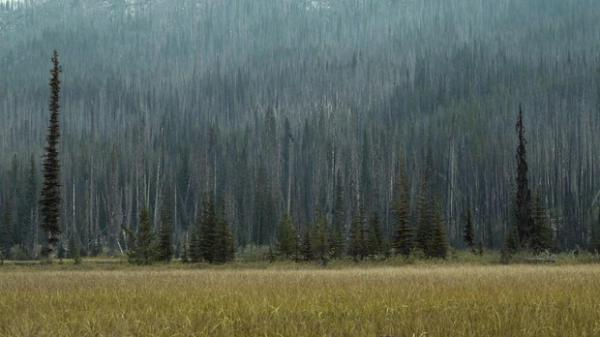 <p>As trees encroach on wetland meadows, they act like giant wooden straws, drying up the meadow as they suck up water. Fire helps keep meadows wet.</p>