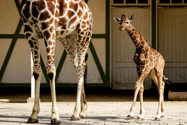 A newborn giraffe follows its mother outside into their enclosure for the first time at Artis Zoo in Amsterdam in 2018. In a new study, researchers say giraffes' spot patterns can be traced to their mothers.
