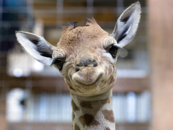 One-day-old baby giraffe calf Gus looks at the camera on May 12, 2017, in Bristol, England. This little guy may have inherited his spots from his mother.