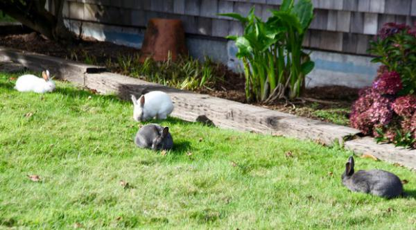 <p>There are thousands of bunnies living in Cannon Beach. One resident said she counted 74 on one brief drive through town.</p>