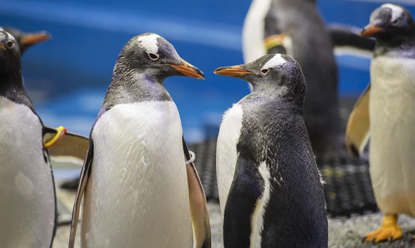 Gentoo penguins relax in the cool temperatures at the Sea Life Sydney Aquarium in 2016. Two male Gentoo penguins, the newest penguin couple in the aquarium, are fostering an egg together.
