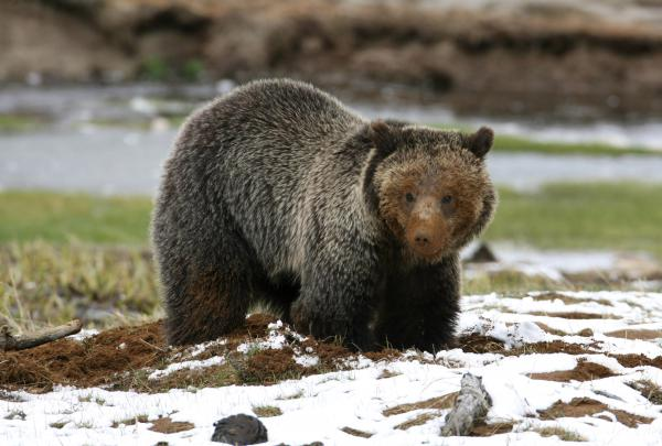 Grizzly bears have increased conflicts with humans during the fall as the animals search for food in preparation for hibernation.
