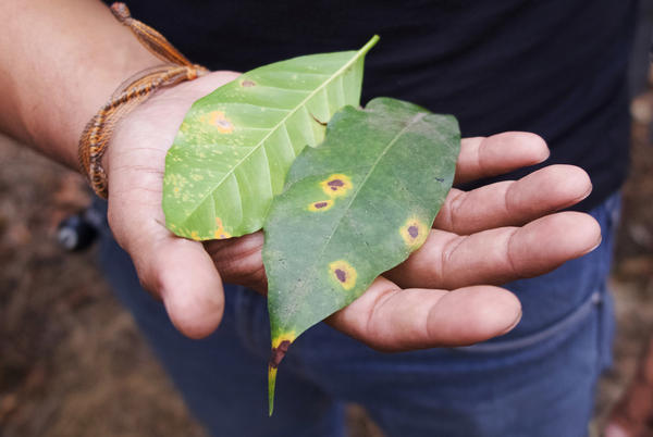 Leaves infected with coffee rust on Finca El Valle, outside Antigua, Guatemala.