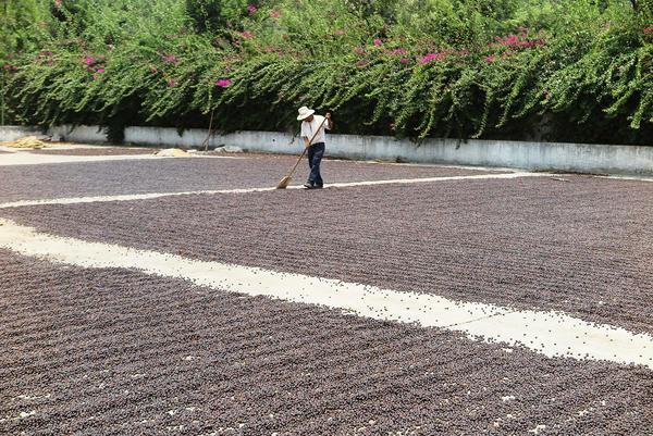 High-end, estate-grown Arabica coffee dries at La Esperanza mill in Antigua, Guatemala.