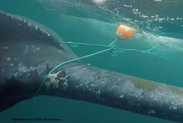 Responders cut Dungeness crab fishing gear off this humpback whale in Monterey Bay in 2016.