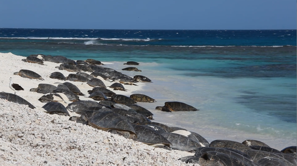 Hawaiian green sea turtles basking on East Island beach. The tiny island remains almost entirely underwater after Hurricane Walaka struck the Pacific last month.