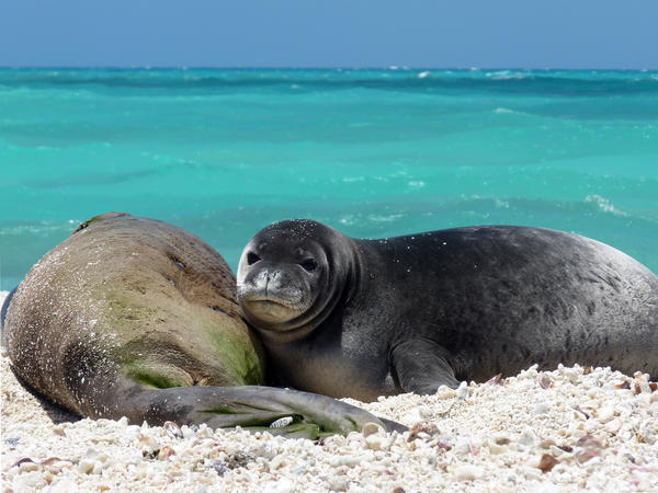 East Island is a critical habitat and breeding ground for endangered monk seals. Scientists estimate one monk seal mother and pup remained on the island when the storm struck.