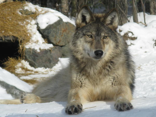 Wolf hunting season in Wyoming started on Sept. 1, a month earlier than last year.