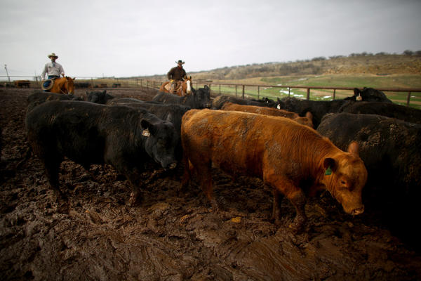 Donnell Brown and another cowboy move a grouping of bulls from one pen to another on rib-eye ultrasound day at the R.A Brown Ranch.