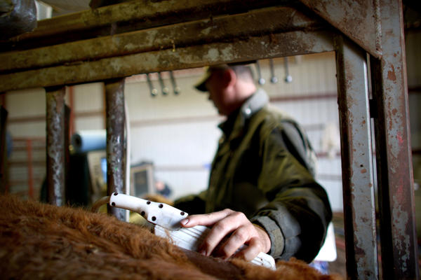Craig Hays, a bovine ultrasound specialist from Maryville, Mo., runs the transducer over a bull's back.