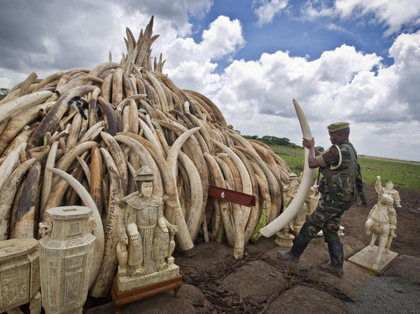 A ranger from the Kenya Wildlife Service adjusts the positioning of tusks on one of around a dozen pyres of ivory, in Nairobi National Park, Kenya April 28. The wildlife service has stacked 105 tons of ivory consisting of 16,000 tusks, and 1 ton of rhino horn, from stockpiles around the country, in preparation for it to be torched on Saturday.