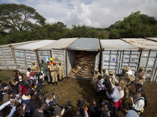 Officials and rangers from the Kenya Wildlife Service open the seals on shipping containers full of ivory transported from around the country, as they prepare to stack it into pyres in Nairobi National Park on April 20.