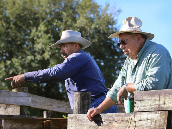 Adam Turtle and Stanlo Johns, 82, examine the herd at the cattle pens at Brighton. Johns helped establish the modern herd back in the 1950s; Turtle is a Seminole cowboy.