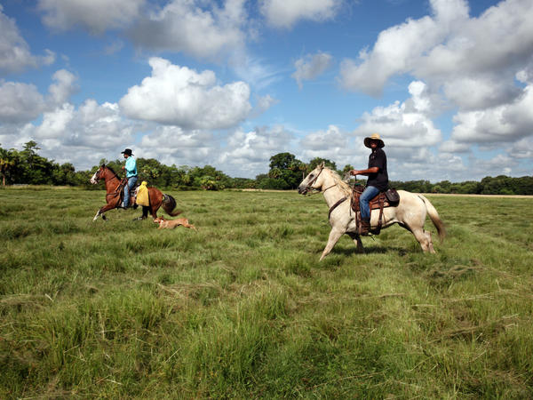 Tribal member Chris Green and friend, Vigil Phillip Birch II, who goes by Shaggy, chase after breakaway cows in the Jumper pasture at Big Cypress with their herd dogs.