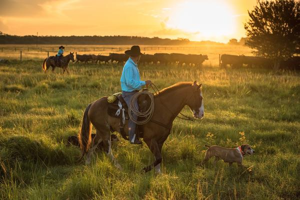Chris Green, a tribal member, and his son, Clayton, get the dogs out early to round up a herd at Big Cypress Reservation.