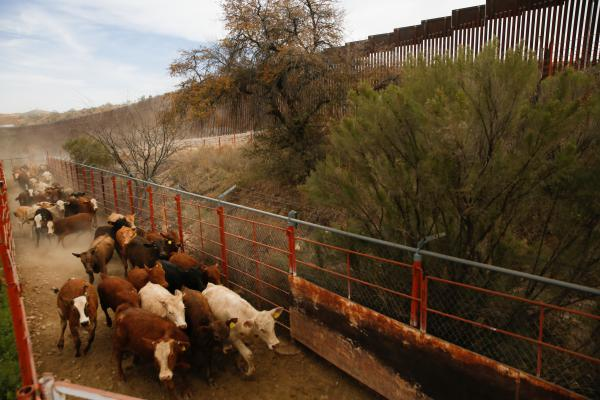 Cattle careen down the dusty hillside and are funneled into pens on the U.S. side.