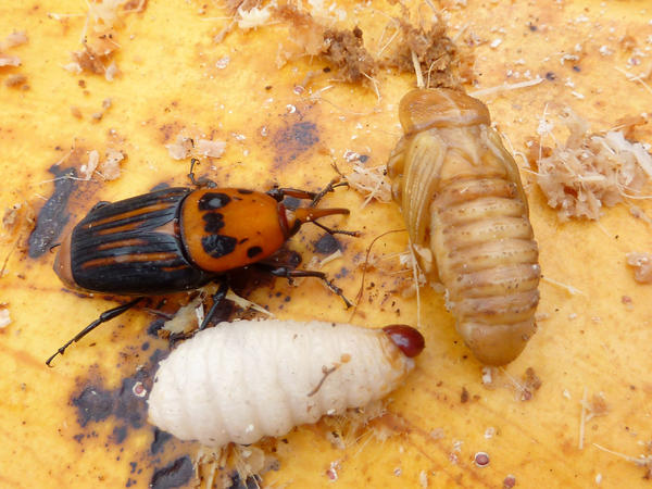 A red palm weevil adult next to a larva (white grub), and pupa (beige). The insect attacks 40 different species of palm, including coconut, date and oil palms, and has already cost millions of dollars in damages worldwide.